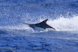 Cape Verde Blue Marlin and some Great photography by Captain Duarte