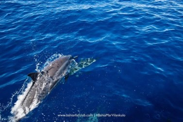 Dolphin and calf