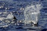 Cape Verde Blue Marlin are eager to please