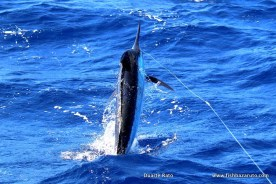 Marlin season 2017 has been an absolute blast this year