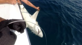 When Calum and crew are not deploying their underwater observatory equipment, this is their other fun activity - tagging sharks!