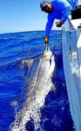 Marlin research bu Captain Duarte Rato