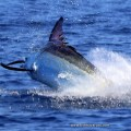 2020 Marlin season with FishBazaruto.com has been another cracker!