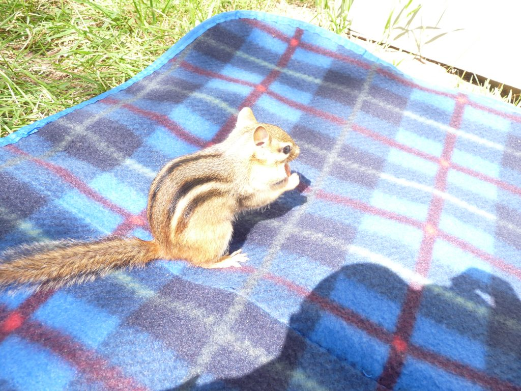Jumpy the chipmunk eating a nut