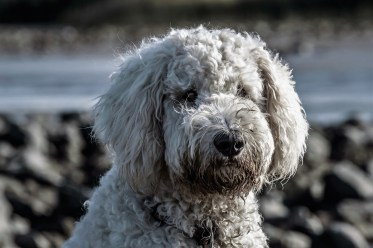 Poodle Stock