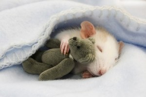 cute-mouse-with-teddy-bear-400x267
