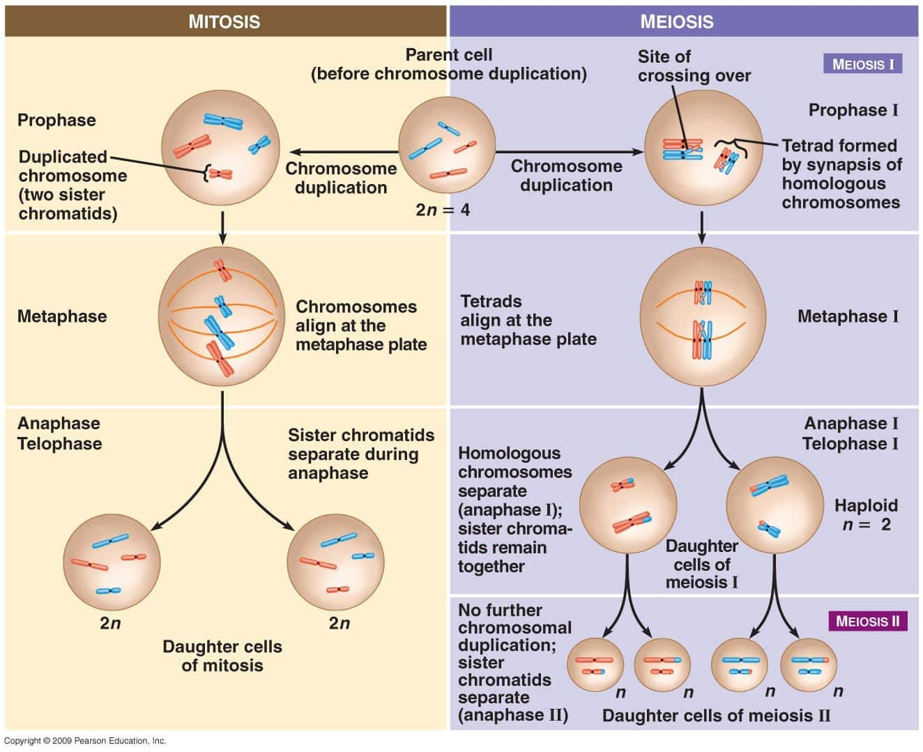 Mitosis And Meiosis The Science Cave