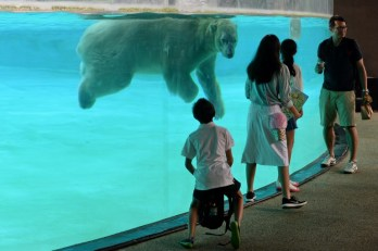 This photograph taken on May 5, 2017 shows polar bear Inuka, 26, swimming inside its enclosure at the Singapore Zoo. The Singapore Zoo is a regarded as a well-maintained zoo but its residents face the same problems as people in affluent Singapore -- they are living to a ripe old age and suffering from more health problems, from arthritis to cataracts and hearing loss. To tackle the problem the zoo introduced a senior animals' programme, with the elderly getting a specialised diet, regular visits from an in-house vet and individually tailored exercise programmes. AFP PHOTO / Roslan RAHMAN