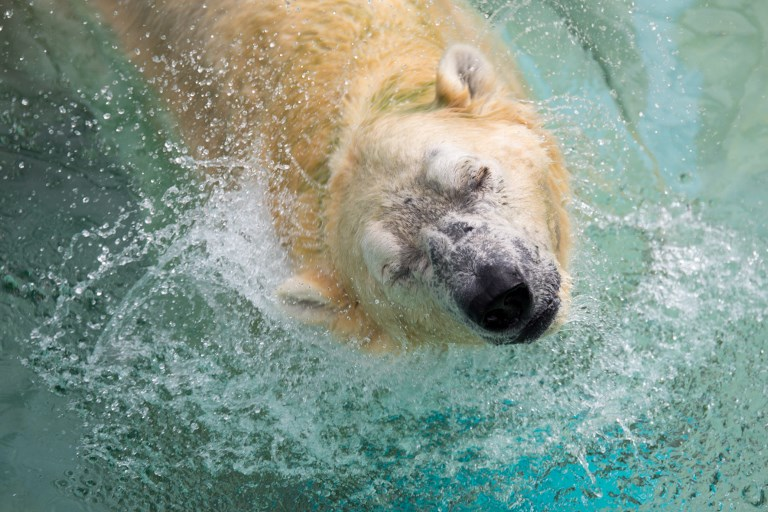 Inuka, a senior polar bear, shakes his head as he lounges in the pool in his enclosure at the Singapore Zoo on December 26, 2017. The zoo commemorated Inuka's 27th birthday, which is equivalent to more than 70 years in human terms. AFP PHOTO / TOH Ting Wei