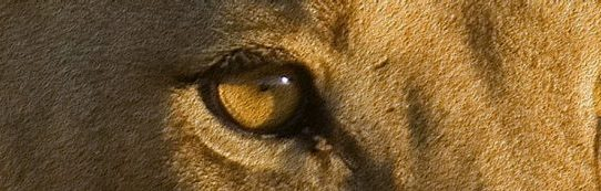 Lioness looking pensive