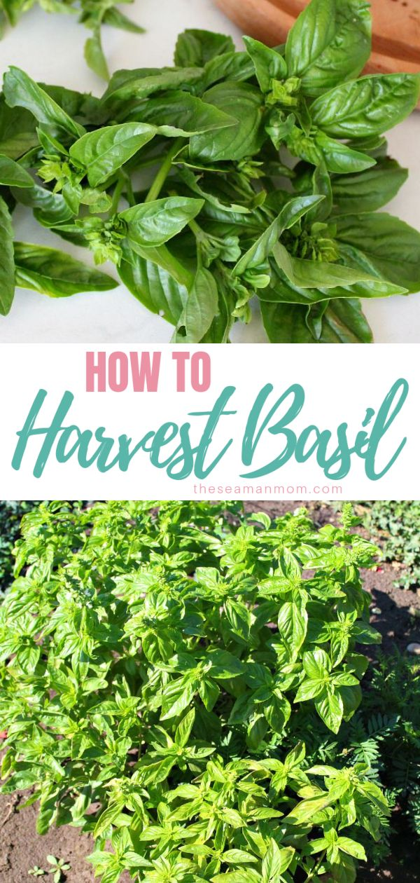 One of the most important part of growing an exuberant batch of basil is the harvest. Here are a few beginner tips on how to harvest basil! via @petroneagu