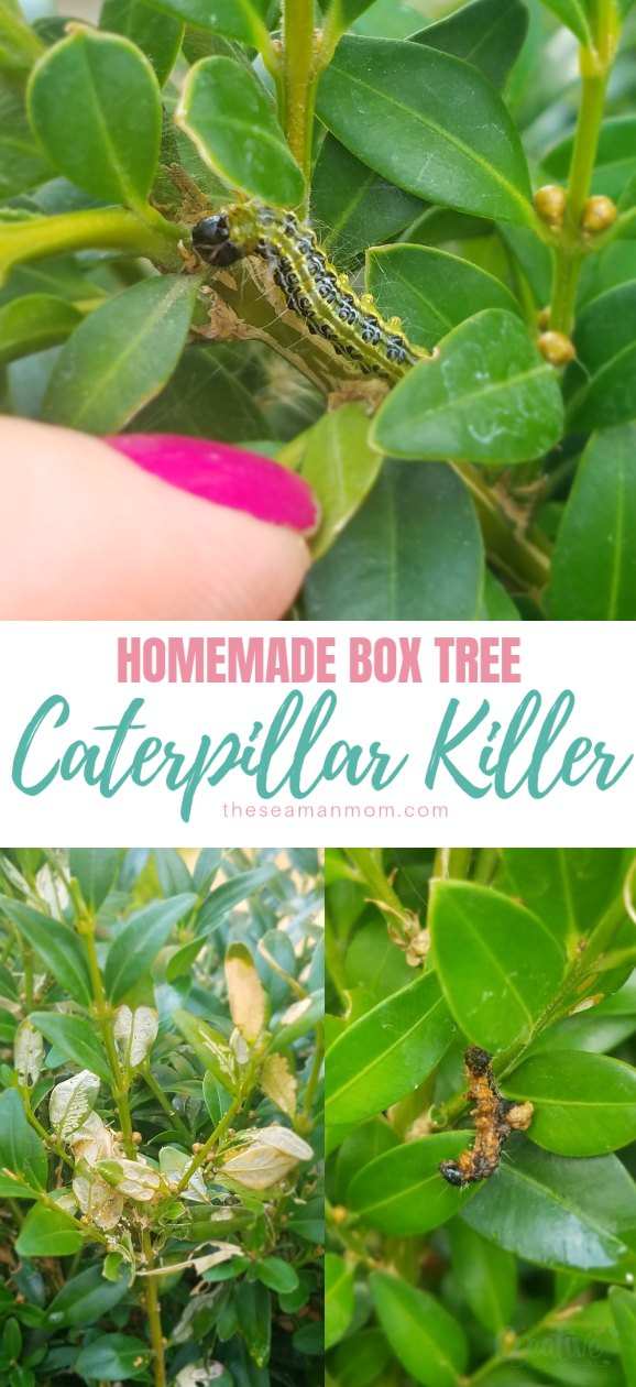 Are caterpillars devastating your beautiful box trees? Act quickly with this simple and safe box tree caterpillar killer and get rid of them without bringing any toxic insecticide into your garden! via @petroneagu
