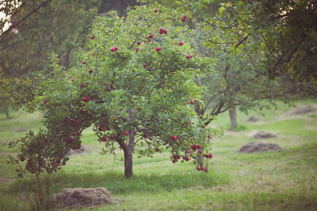 Apple Crisps -- Discovery Apple tree | https://theseasonaltable.co.uk/savoury/apple-crisps/