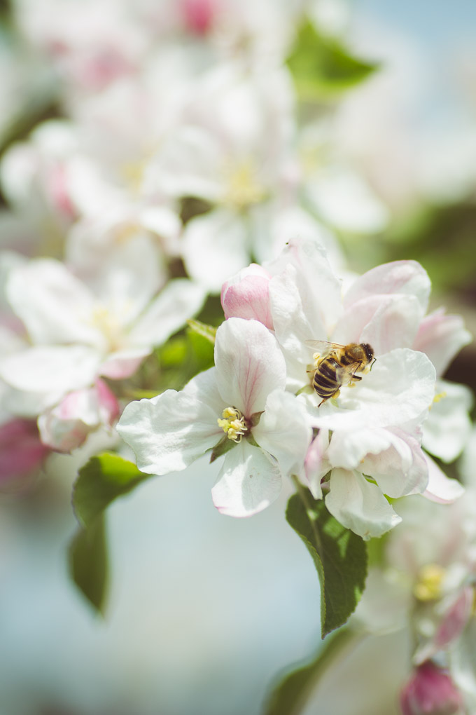 Beekeeping - A Late Spring Beehive Inspection -- Honeybee on Apple Blossom | https://theseasonaltable.co.uk/smallholding/beekeeping-late-spring-beehive-inspection/