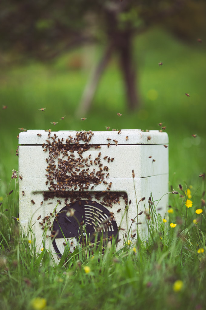 A Swarm in the Plum Tree -- Captured swarm in poly nuc | https://theseasonaltable.co.uk/smallholding/a-swarm-in-the-plum-tree/
