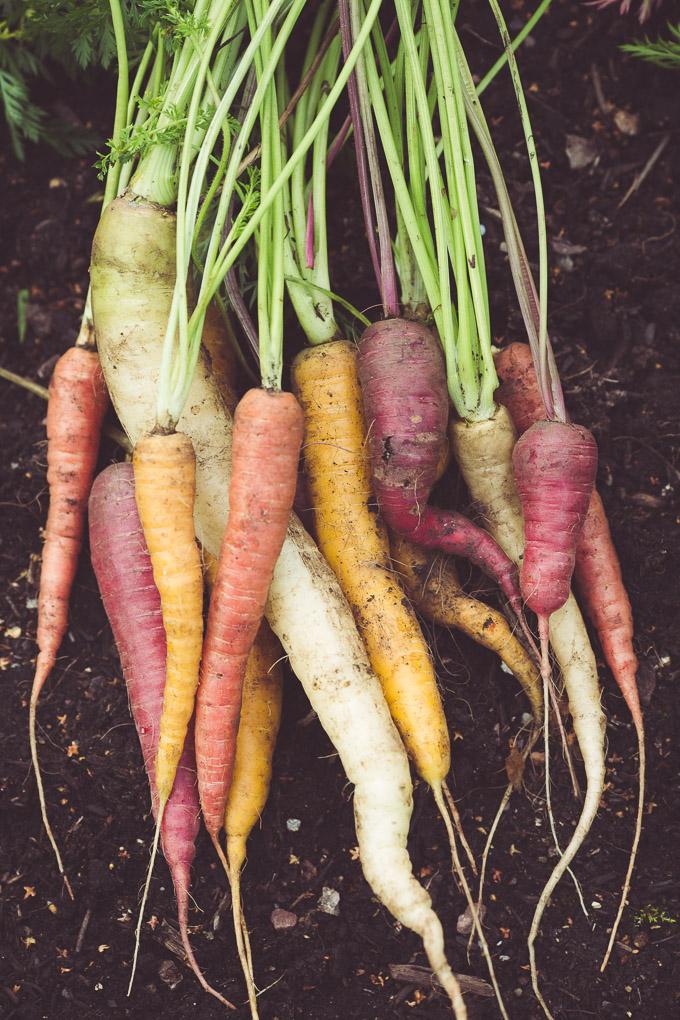 Garden Soup and Carrot Leaf Pesto -- Bunch of rainbow carrots | https://theseasonaltable.co.uk/savoury/garden-soup-and-carrot-leaf-pesto/