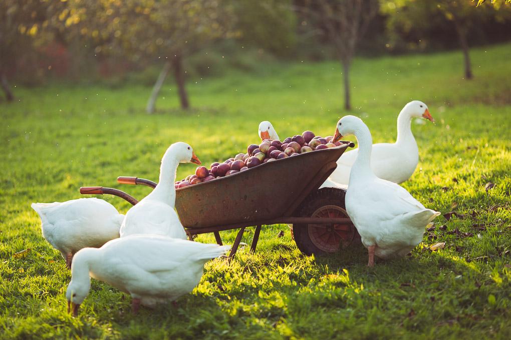 Apple Pressing Weekend -- A wheelbarrow of apples | https://theseasonaltable.co.uk/smallholding/apple-pressing-weekend/