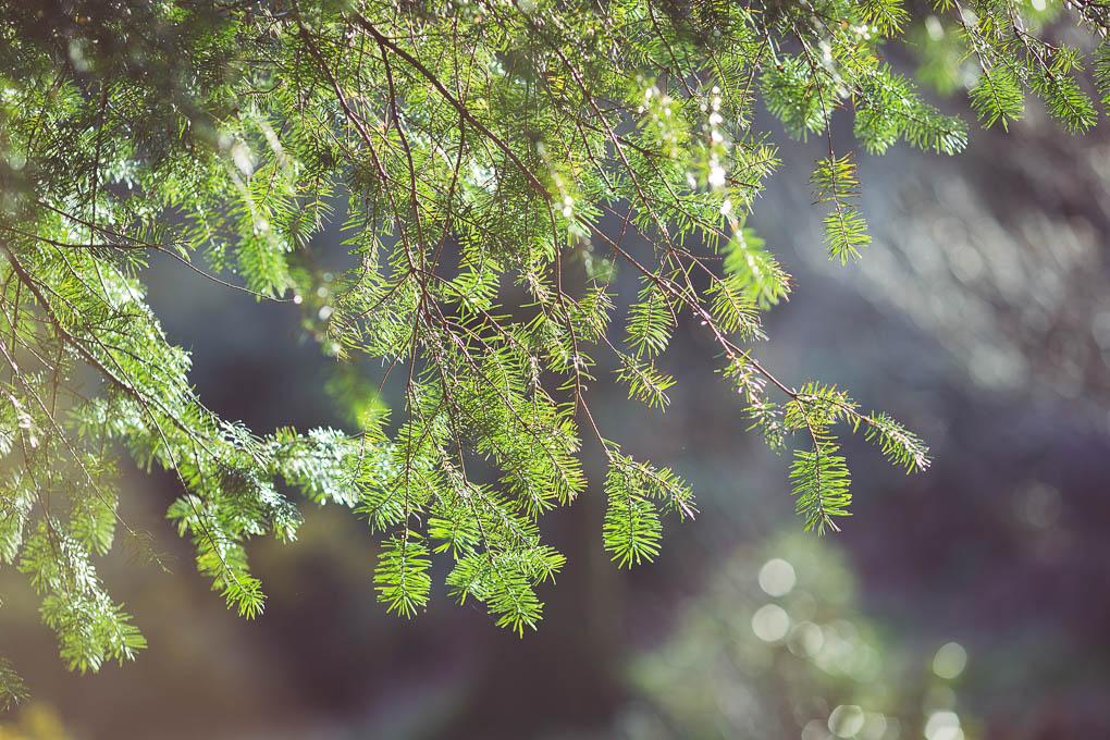 Pine Needle Vinegar -- edible pine needles | https://theseasonaltable.co.uk/savoury/pine-needle-vinegar/