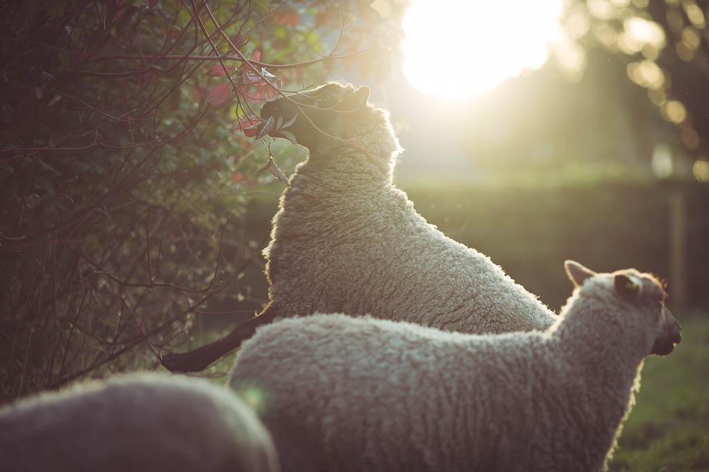 Shetland Sheep -- Self Medicating | https://theseasonaltable.co.uk/smallholding/shetland-sheep/