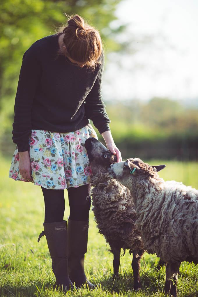 Shetland Sheep -- Friendly sheep | https://theseasonaltable.co.uk/smallholding/shetland-sheep/