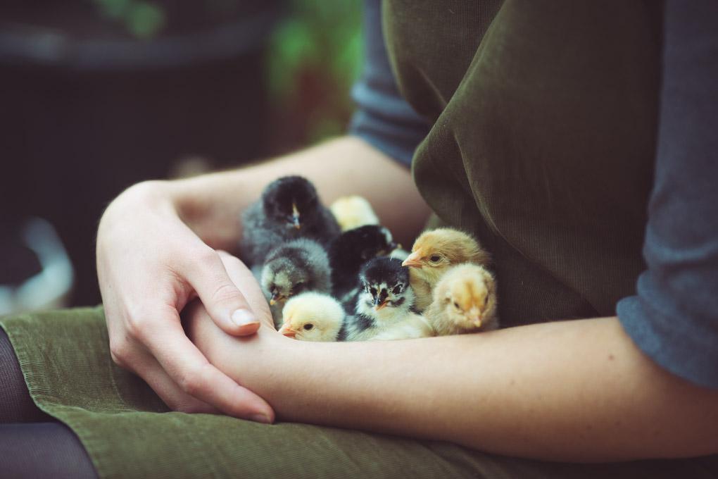Chickens: Creating a Dual-Purpose UK Easter Egger Flock – Part 3 | chicks | https://theseasonaltable.co.uk/smallholding/chickens-creating-a-dual-purpose-uk-easter-egger-flock-part-3/