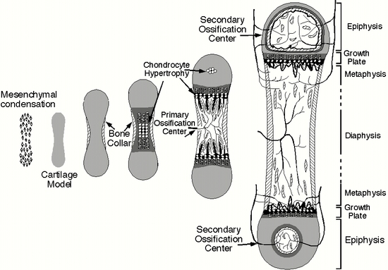 Skeletal Series A: The Biological Basis of Bone and