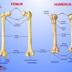Humerus Bone Diagram 1999 Softail Wiring Femur These Bones Of Mine