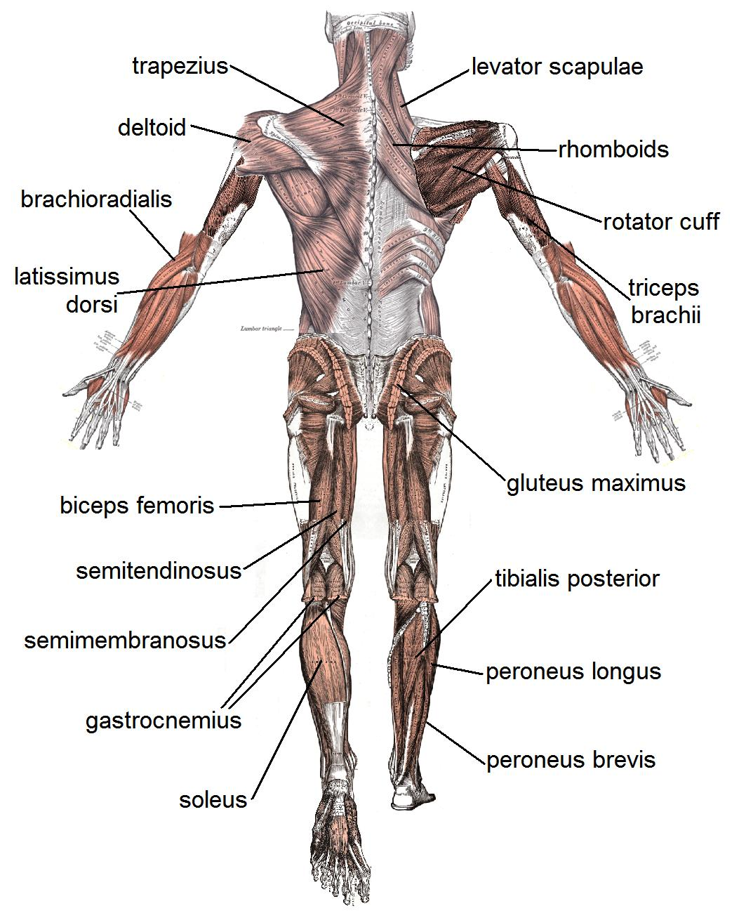 human muscles diagram labeled front and back chevy steering the basic in body these bones of mine posterior