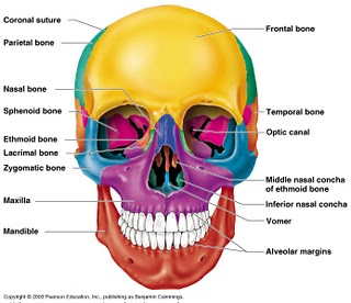human skull bones diagram labeled 2006 nissan altima wiring diagrams these of mine norma frontalis view the