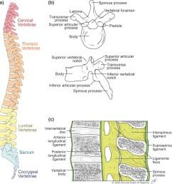 skeletal series part 4 the human spine [ 944 x 985 Pixel ]