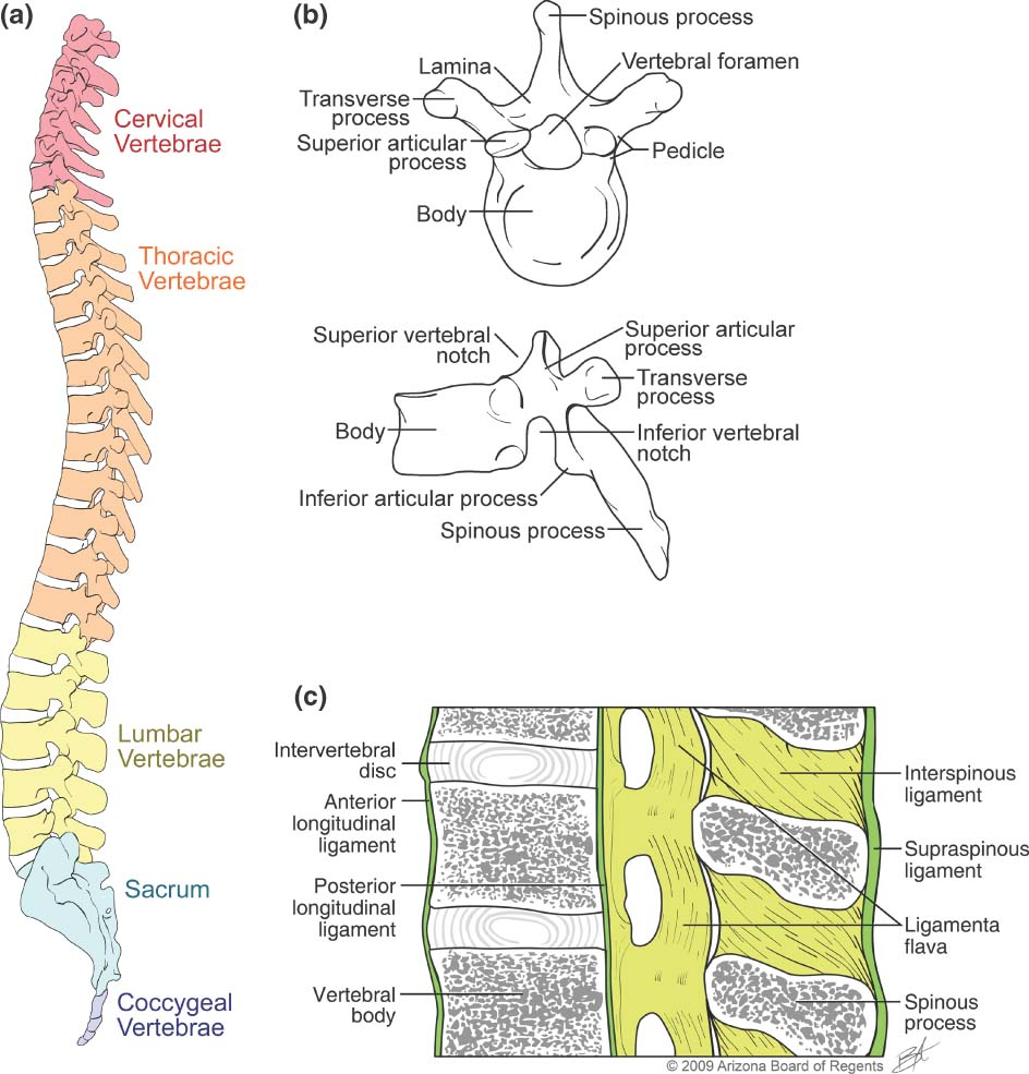 medium resolution of skeletal series part 4 the human spine