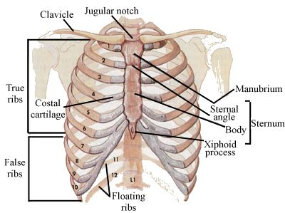 diagram of ribs and organs car stereo wiring jvc skeletal series part 5 the human rib cage these bones mine main anatomical elements image credit wikipedia 2011