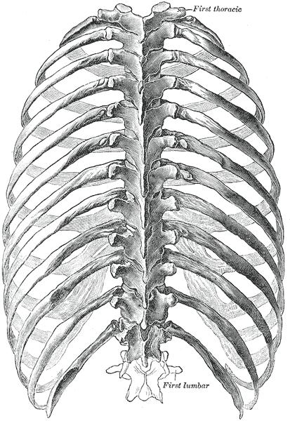 rib cage bone diagram 2003 nissan frontier audio wiring ribs skeleton blank online skeletal series part 5 the human these bones of mine skull