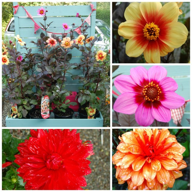 Plant of the Week: Dahlia
