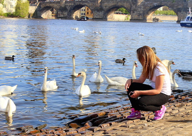 Prague swans and Charles bridge