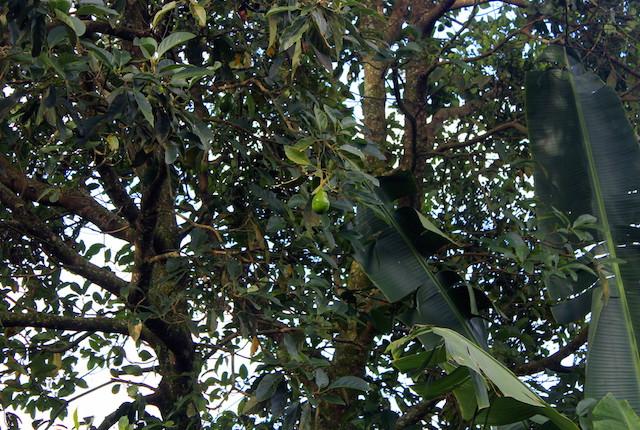 Avocado tree at The Plantation House, Salento