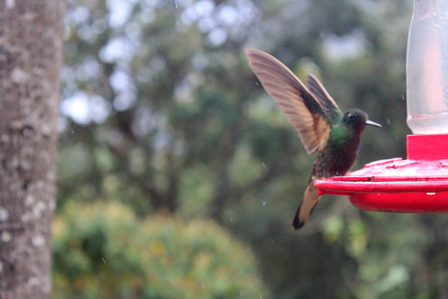 Hummingbirds at Acaime Reserve in the Cocora Valley, Colombia