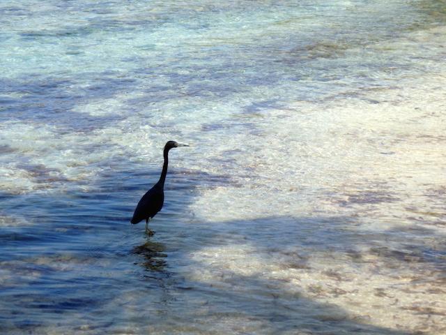 Heron in Mustique island