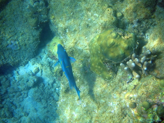Colorful fish while snorkeling in St. Lucia