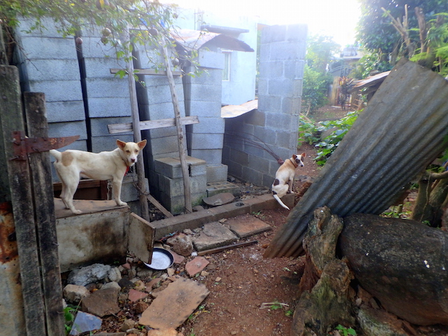Stray dogs in a little town in Mauritius