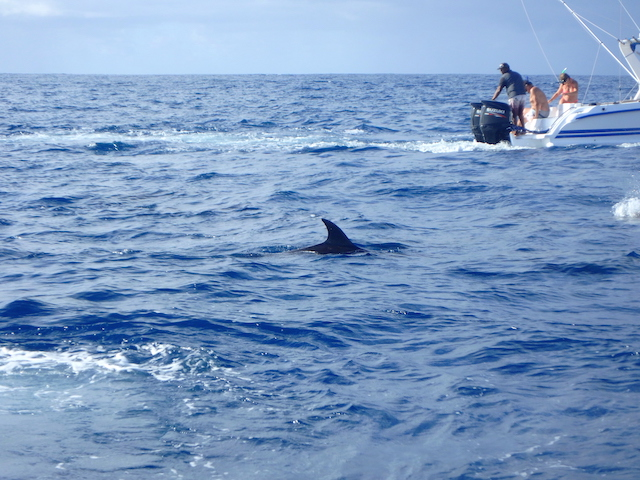 Swimming with wild dolphins in Mauritius