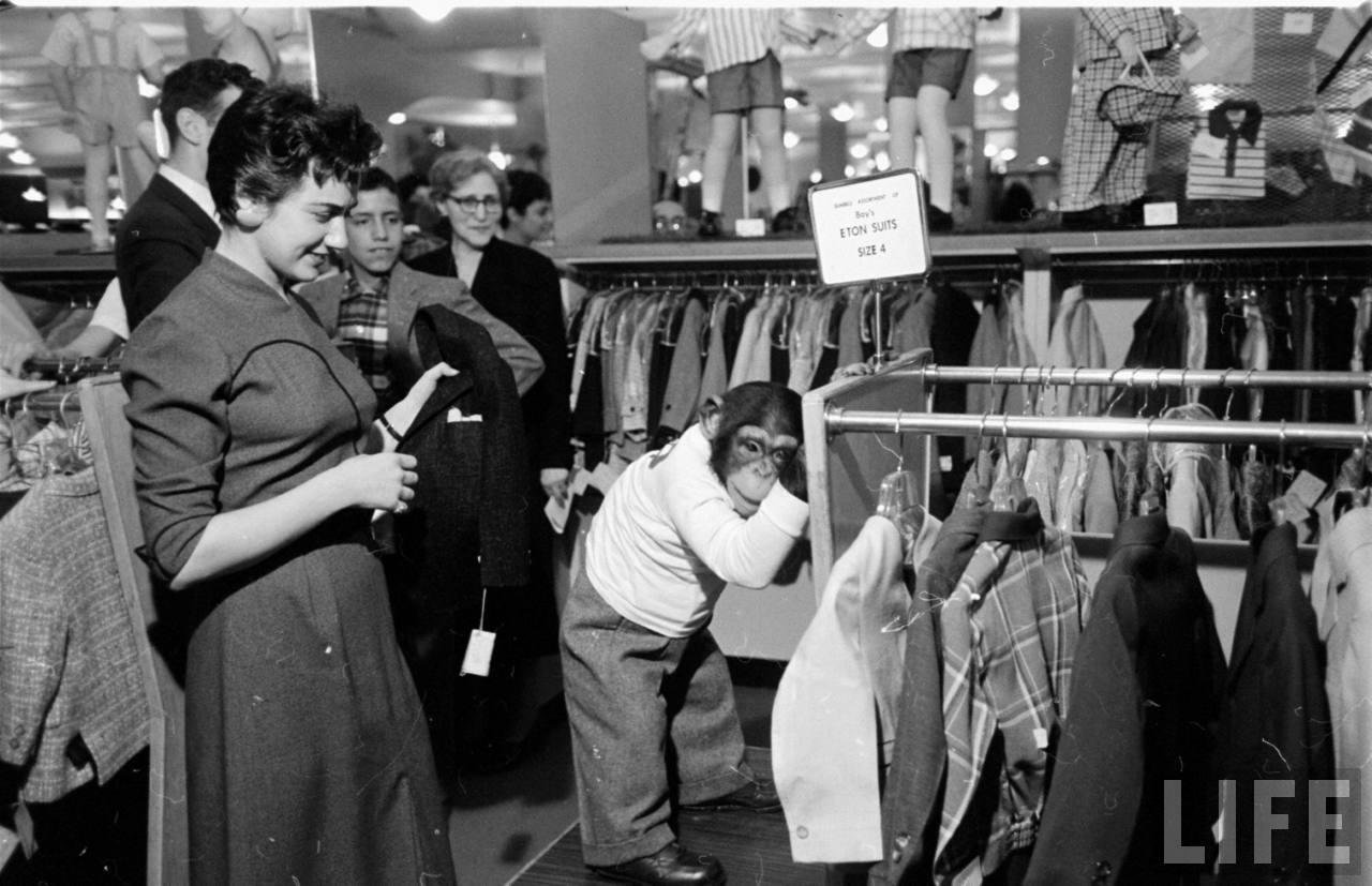 Zippy chimpanzee shopping for clothes