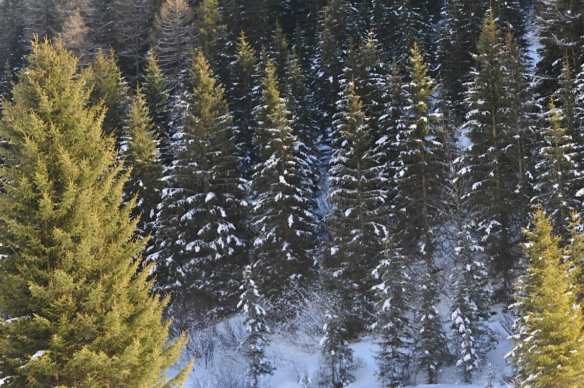 Krakau Austria Pine