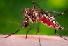 An Aedes aegypti mosquito, the chief vector of Zika virus.