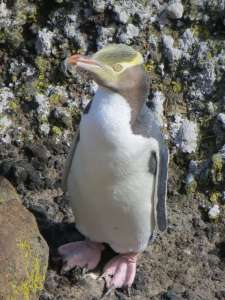 2017-18 Yellow-Eyed Penguin Report by Marie Haley