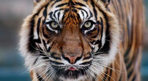 Should There Be An Actual Sewanee Tiger?