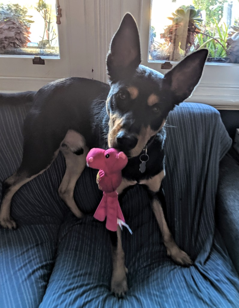 A picture of a black and tan kelpie with enormous ears.  He is standing on a couch with a pink toy in his mouth.
