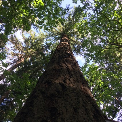 One last look up the 'Nutcracker' Douglas Fir. So long, and thanks for the majestic presence.