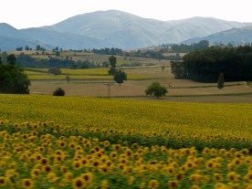 Turkey photos, Sunflower Turkey