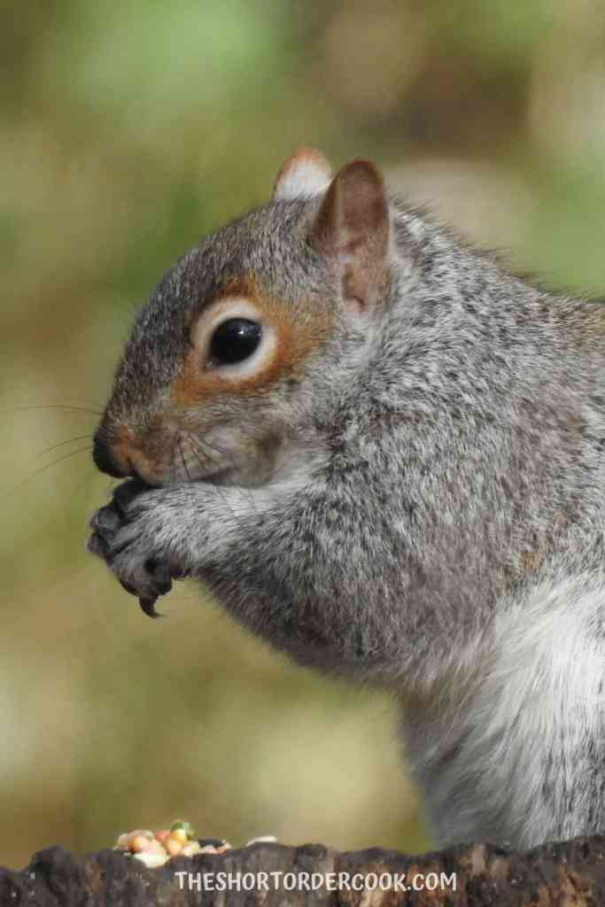 Squirrels eat a lot of garden fruits and nuts